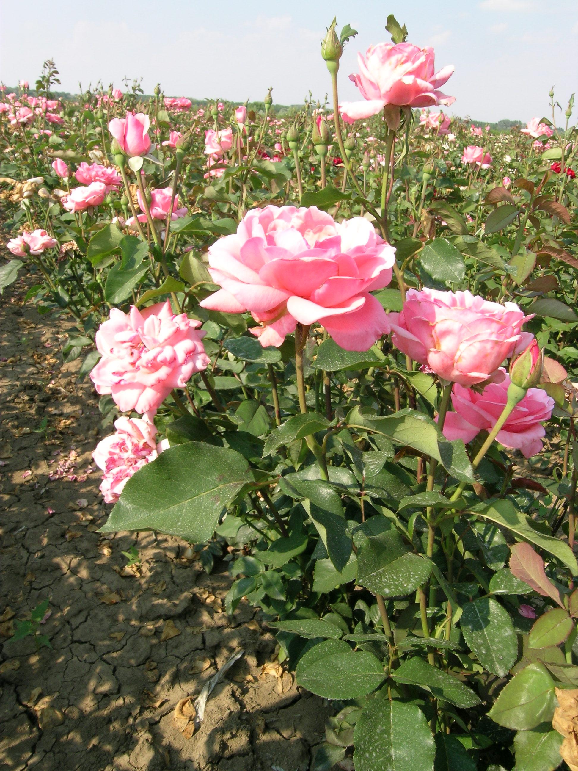 Dísznövény fajtaismeret fejlesztése III. Szabadföldi rózsák