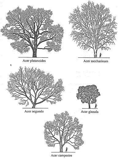 Dísznövény fajtaismeret fejlesztése IV. - Alakfák, parkfák